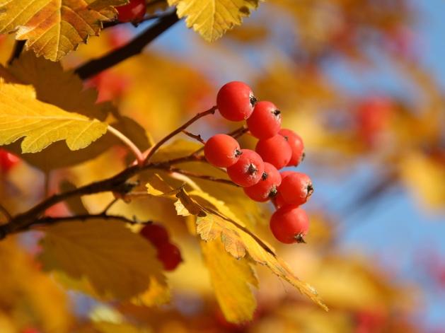 Скачать обои листья, дерево, желтый, ягода, красный, рябина, Осень - картинка #11585 c разрешением 1024x1024